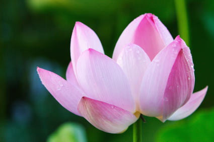 De Bloeiende Lotus - centrum voor persoonlijke ontwikkeling en lichaamsgerichte therapie